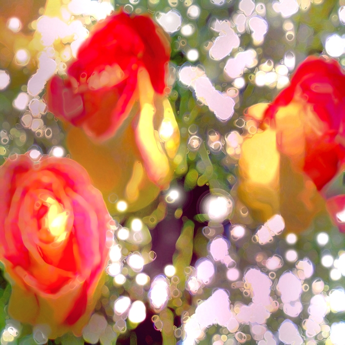 yellowredrimroses